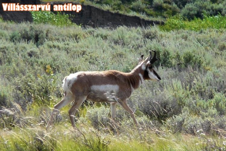 Villásszarvú antilop