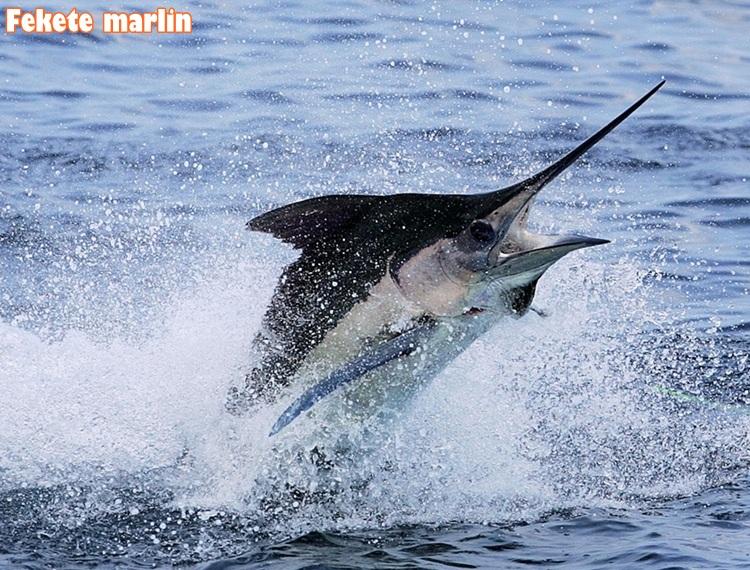Fekete marlin