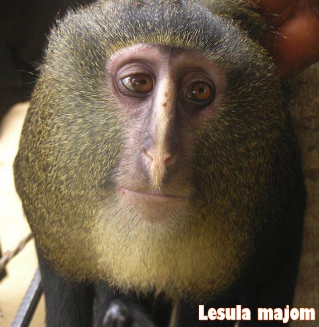 Lesula