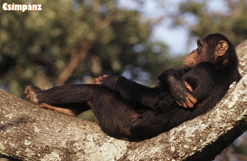 Csimpánz